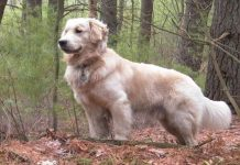 Golden retriever. Fot. Wikipedia